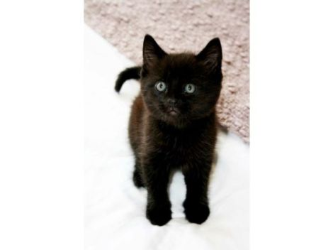 beautiful-short-haired-black-kitten-for-sale-51e2be8a55cf1
